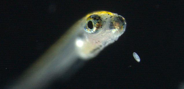 larva30056